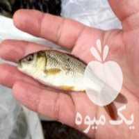فروش پرورش ونگهداری بچه ماهی گرمابی در زنجان