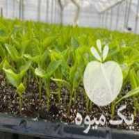 فروش انواع نشا صیفی و نشا گیاهان دارویی به صورت قراردادی و آزاد در استان فارس شیراز مرودشت و
