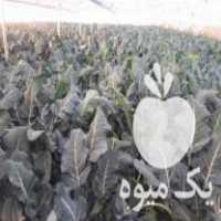 فروش بوته کلم بروکلی در اصفهان