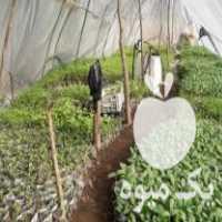 فروش گلدانی اعم از خیار فلفل گوجه و      در آستانه اشرفیه