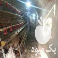 فروش قفس صنعتی مرغ تخم گذار در دلیجان