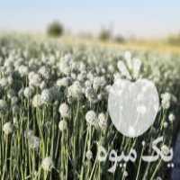 فروش بذر پیاز محلی کردستان درجه یک در سیس