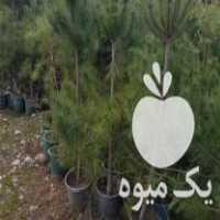فروش کاج سیاه تعداد بالا در نوشهر