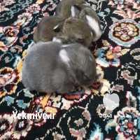 فروش دیگر حیوانات اهلی داچ در تهران