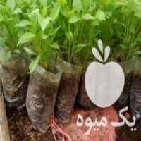 فروش بوته فلفل سبز در آستانه اشرفیه