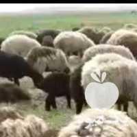 فروش گله گوسفند  یک جا در اصفهان