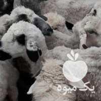 فروش گوسفند در بوشهر