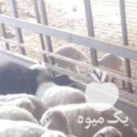 فروش گوسفند نژاد آواسی اسرائیلی در تهران