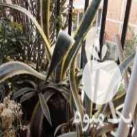 فروش گل اگاو ابلق سرحال و بالای 5 سال در شیروان