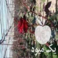 فروش بوته و قلمه ریشه دار گل رز در دزفول