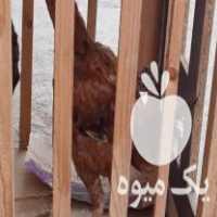 فروش خروس لاری 5 ماهه در ساری