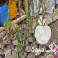 فروش نهال آلبالو محلی در ملایر