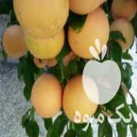 فروش نهال مرکبات دارابی پرتابی پیوندی گلدانی در ساری