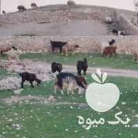 فروش گوسفند کلی در شیراز