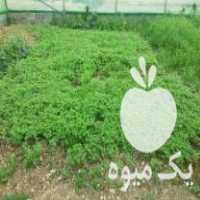 فروش شتل گوجه کردی فلفل بادمجان در کرمانشاه