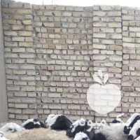 فروش گوسفنداصیل شال در شیراز