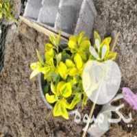 فروش گل شمشادطلایی در چابکسر