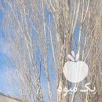 خرید انواع چوب وبرشکاری درختان قلمه سیب و  در ارومیه در گروه خرید فروش عمده چوب- زغال چوب گردو تبریزی خام در یکمیوه