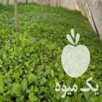 فروش فلفل سوزنی و بادمجان سیاه عالی در آستانه اشرفیه