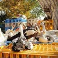 فروش تخم نطفه دار و جوجه غاز و بوقلمون در تهران