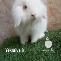 فروش دیگر حیوانات اهلی اکراینی در لاهیجان