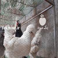 فروش فروش جوجه و تخم نطفه دار  در تهران