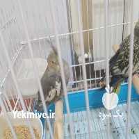 فروش پرندگان گلباقالی و خاکستر در تهران