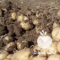 خرید و سیب زمینی در همدان