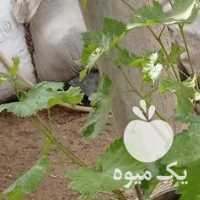 فروش درخت انگور در همدان