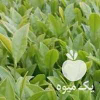 فروش کلی و جزعی چای بهاره 1400 لاهیجان در گیلان