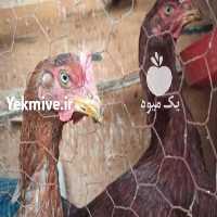 فروش مرغ لاری   در تهران