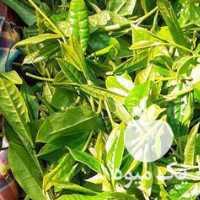 فروش چای بهاره 1400 در تهران