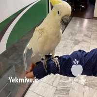 فروش پرندگان کاکل زرد بزرگ در تهران