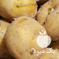 فروش سیب زمینی سانتا بذری در کرمانشاه
