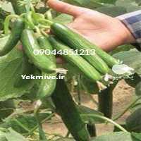 فروش بذر خیار ویکتوریا در هرمز