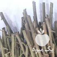 فروش ترکه پیوند پسته در قزوین