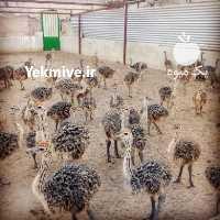 کسب درآمد بالا از پرورش شترمرغ - فروش جوجه شترمرغ در تهران