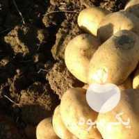 فروش سیب زمینی اسپریت بذری وخوارک در همدان