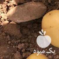 فروش سیب زمینی بذری رقم کلمبا در همدان
