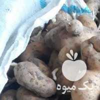 فروش 15 تن سیب زمینی دامی در کرمانشاه