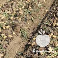 فروش سیب زمینی در همدان
