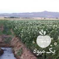 فروش سیب زمینی انباری جوانه زده در اردبیل
