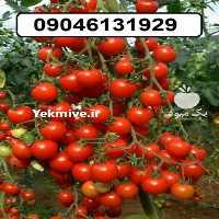 فروش بذر گوجه گیلاسی در تهران