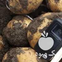 فروش سیب زمینی در کرمانشاه
